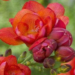 Фрезія Double Red фото