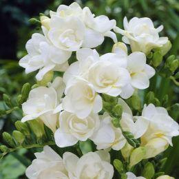 Фрезія Double White фото