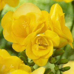 Фрезія Double Yellow фото