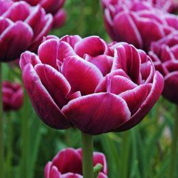 Тюльпан Dreamtouch фото