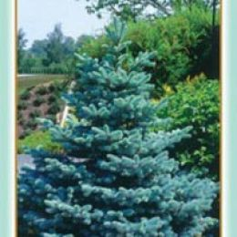 Ялина голуба фото
