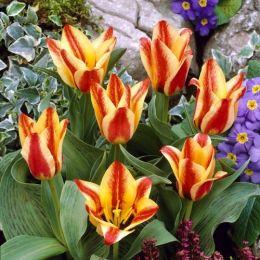 Тюльпан Sylvia Warder фото
