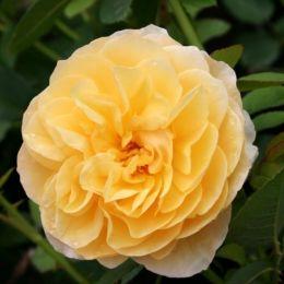 Троянда Graham Thomas фото