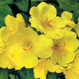 Енотера місурійська Жовта Ріка фото