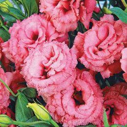 Еустома АВС 2 F1, рожева, махрова фото