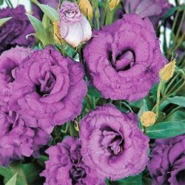 Еустома АВС 3 F1, пурпурова, махрова фото