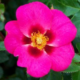 Троянда Eye to Eye фото