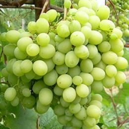 Виноград  Мускат Жемчужний фото
