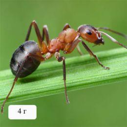 Гель проти мурах фото