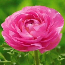 Ранункулюс (лютик) Aviv Pink фото