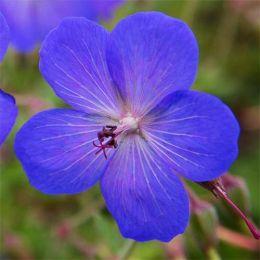 Герань Jonson's Blue фото