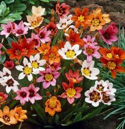 Спараксіс Tricolor Mix фото