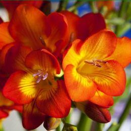 Фрезія Single Red фото