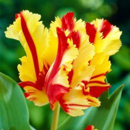 Тюльпан Flaming Parrot фото