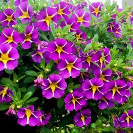 Калібрахоа Rave Violet фото