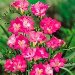 Фрезія Single Pink фото
