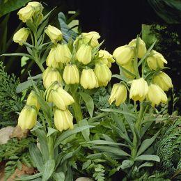 Фрітіларія Pallidiflora фото