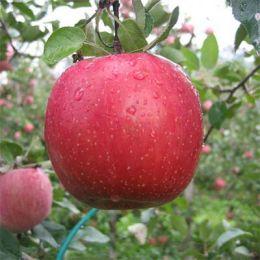 Яблуня Фуджі Кіку фото