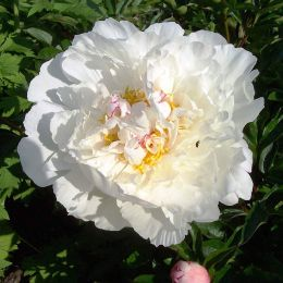 Півонія Gardenia фото
