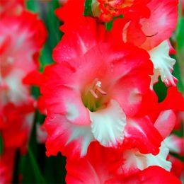 Гладіолус Pink Lady фото