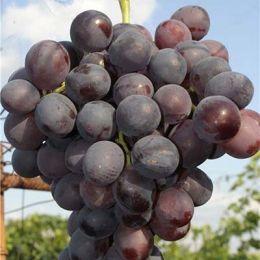 Виноград Ніна фото