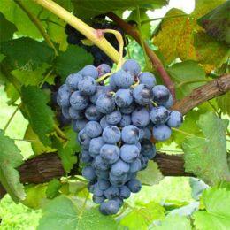Виноград Алікант Буше фото