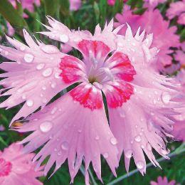 Гвоздика Рожевий Амур фото