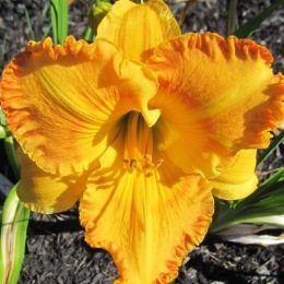 Лілейник Orange Nassau фото