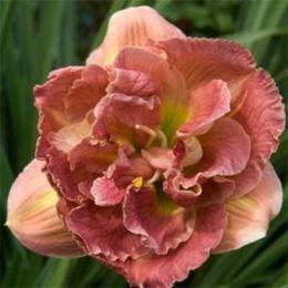 Лілейник Double Pink Peony фото
