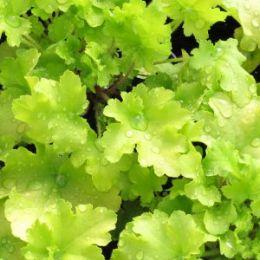 Гейхера Lime marmalade фото