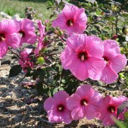Гібіскус садовий Royal Gem фото