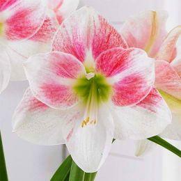 Амариліc Rosy Star фото