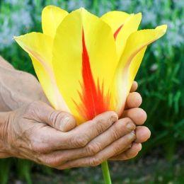 Тюльпан Hocus Pocus фото