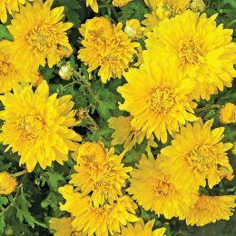 Хризантема Повість Осені фото