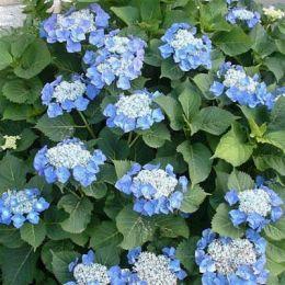 Гортензія Blue Sky фото