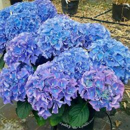 Гортензія Early Blue фото