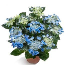 Гортензія Nizza Blue фото
