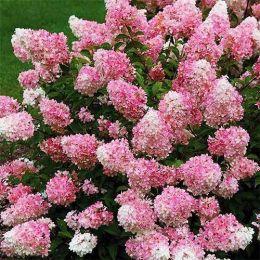 Гортензія Touch of Pink фото