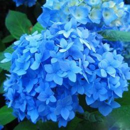 Гортензія Nikko Blue фото