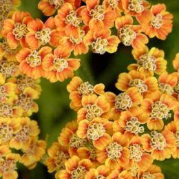 Деревій Incagold фото