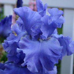 Ірис Yaquina Blue фото