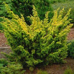 Ялівець Plumosa Aurea фото