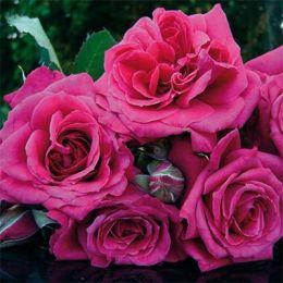 Троянда La Roche Guyon фото