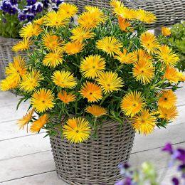 Лампрантус Жовтий фото