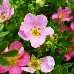 Перстач Lovely Pink фото