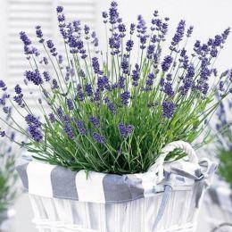 Лаванда Essence Purple фото