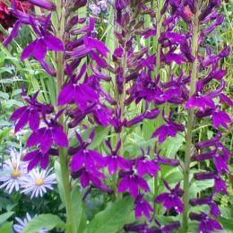 Лобелія Hadspen Purple фото