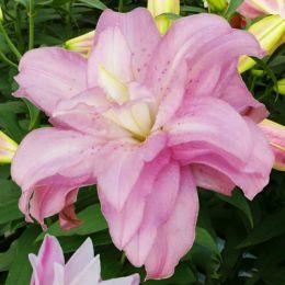Лілія Lotus Spring фото