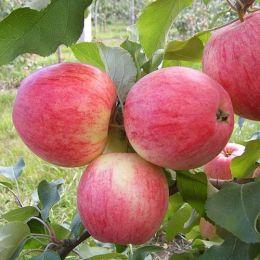 Яблуня Конфєтне фото