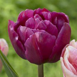 Тюльпан Margarita фото